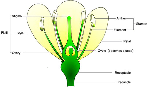 Full flower diagram search for wiring diagrams search carnivorous plant photos rh cpphotofinder com plant diagram typical flower diagram ccuart Image collections